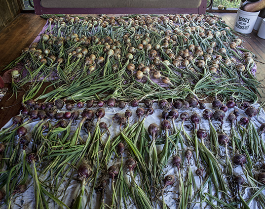 Onions drying